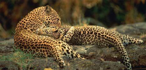 леопарди фото