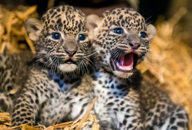 маленькі леопардика фото
