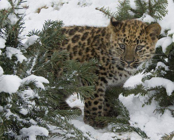 дитинча леопарда фото