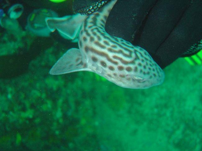 Леопардова акула - володарка розкішної забарвлення.