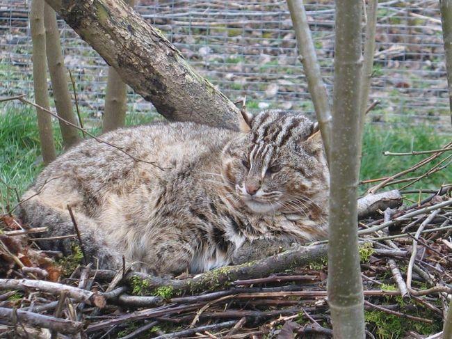Леопардовий кіт - засновник бенгальської породи