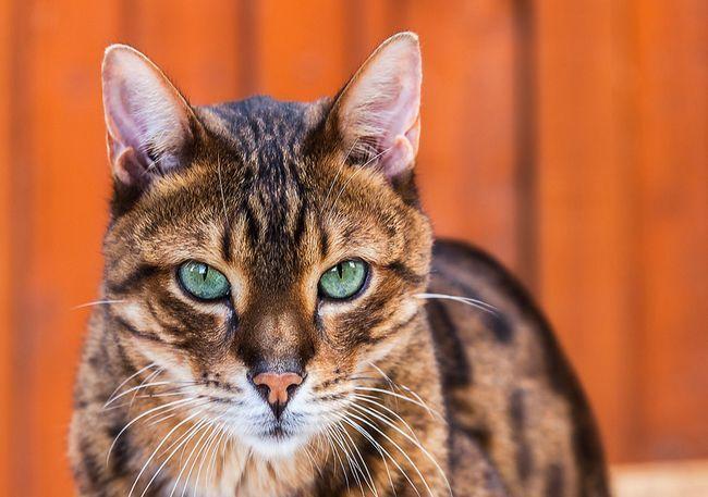 Леопардовий кіт