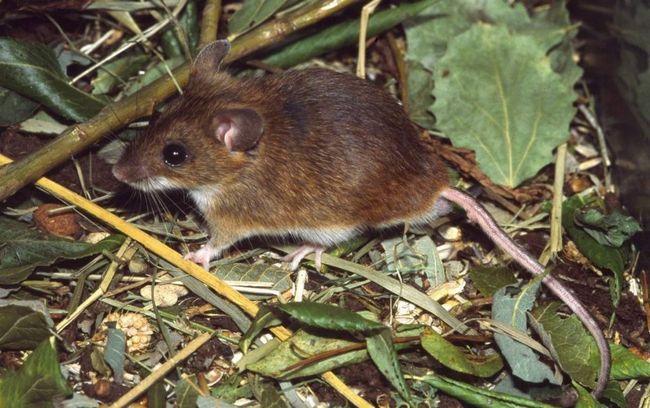 Лісова миша: опис і спосіб життя маленького гризуна