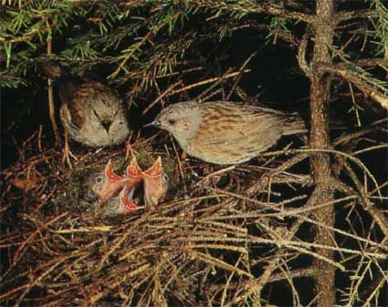пташенята лісової завирушки фото