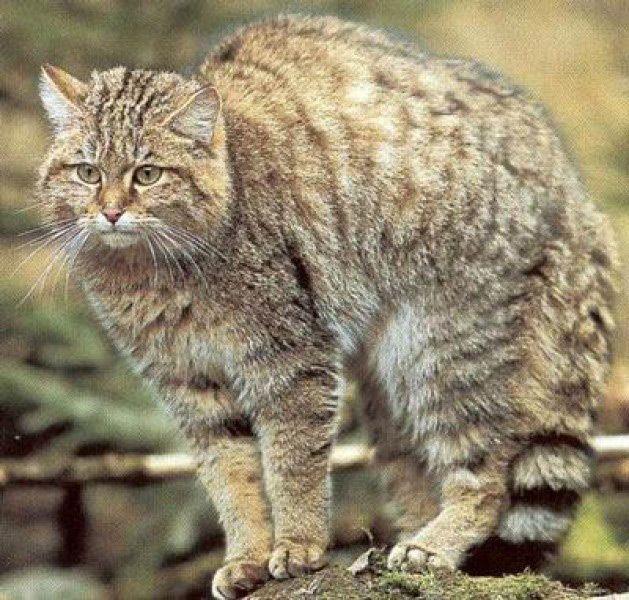 Лісовий кіт (felis silvestris)