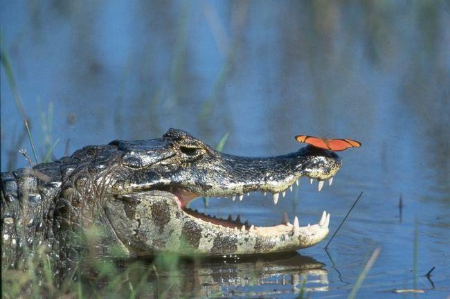 Їх не розчулюють цього фото. Для метелики крокодил може і не страшний. Але всім іншим тваринам і людям варто уникати зустрічі з цією машиною-вбивцею