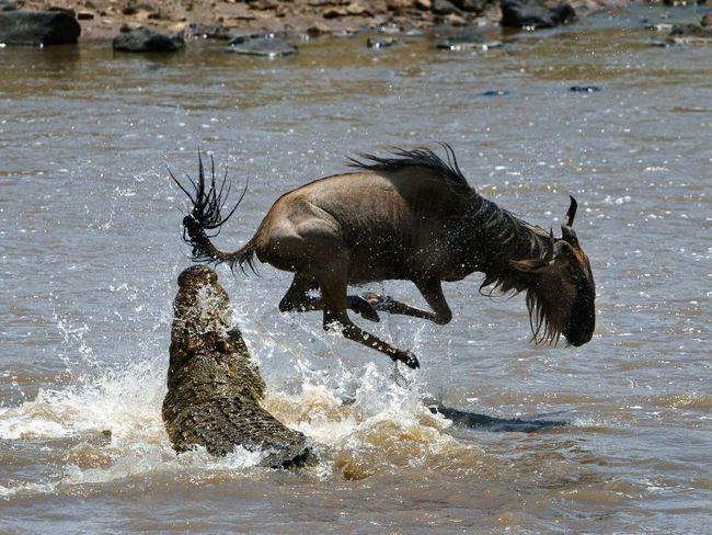Навіть антилопі гну, з її сильними ногами і рогами складно вирватися із смертельної крокодилової сутички