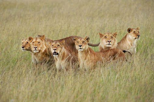 прайд левів фото