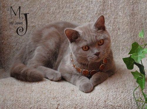 Ліловий забарвлення британських кішок