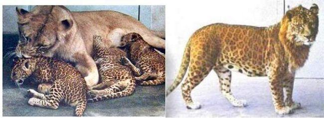 Перший гібрид був народжений в 1951 році, у В`єтнамі, в зоопарку Шенбрунн.
