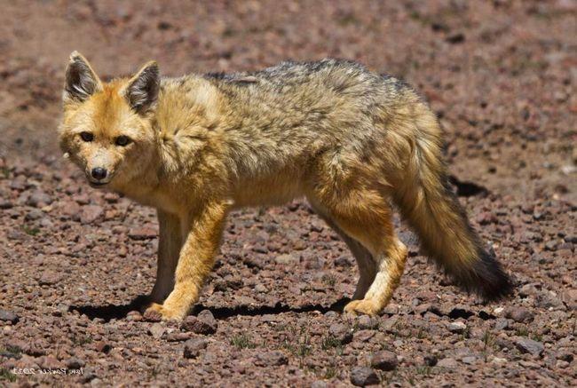 Лисиця кульпео - мешканка південної америки