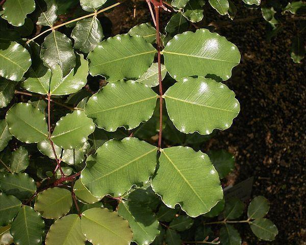 Соковиті листя ріжкового дерева (фото Frank Vincentz / Wikimedia).