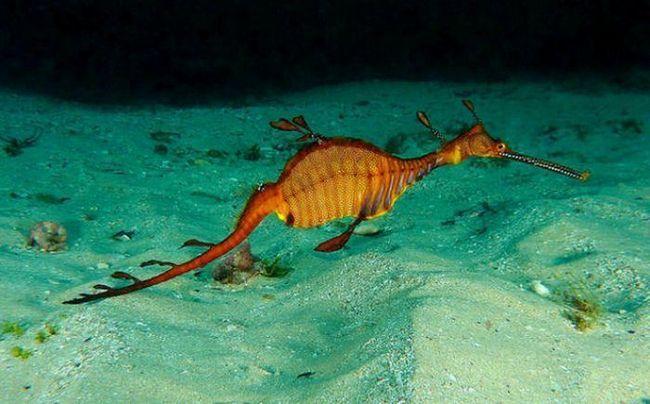Листяний морський дракон, або Морський пегас (лат. Phycodurus eques)