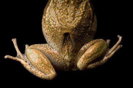 Сумка звичайної сумчастої квакші (Gastrotheca marsupiata)