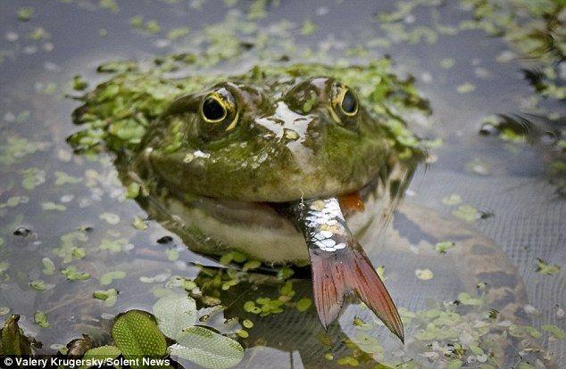 Жаба залишила без юшки Чернігівського рибалки