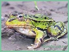 Лягушкачёрнопятністая / rana nigromaculata