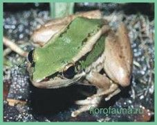 Лягушкакрасноухая / rana erythraea
