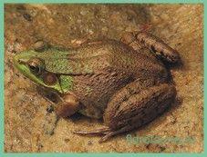 Лягушкакріклівая / rana clamitans