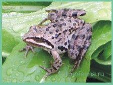Лягушкамалоазіатская / rana macrocnemis