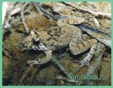Лягушкапрібрежная тропічна / rana limnocharis)