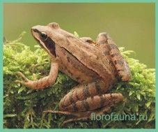Лягушкаприткая / rana dalmatina