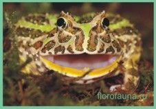 Лягушкарогатая / ceratobatrachus guentheri