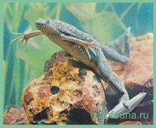 Лягушкашпорцевая гладка / xenopus laevis