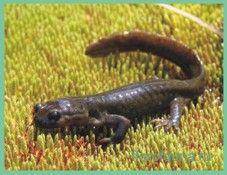 Лягушкозубсеміреченскій / ranodon sibiricus