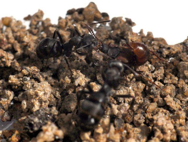 Ломехуза - непрохані гості мурах.