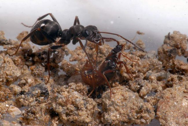 Ломехуза і мураха.