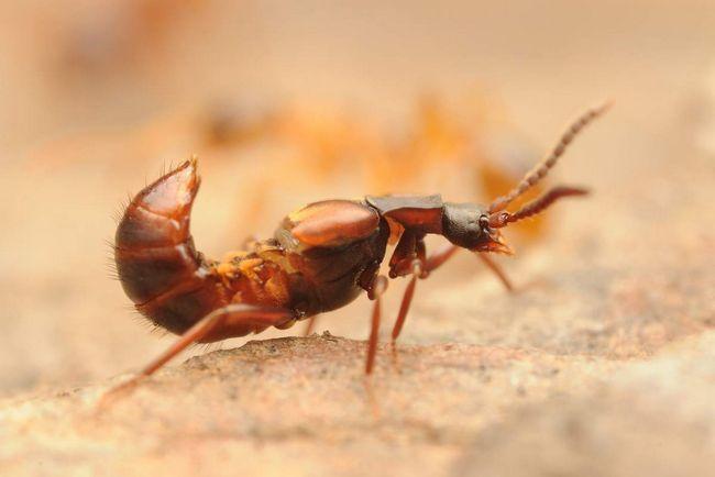 Ломехуза не просто поселяються до мурашок, але ще і розмножуються там.