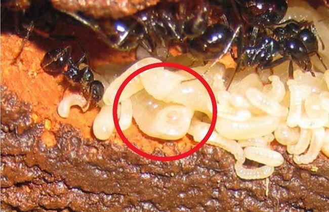 Личинки ломехуза поїдають мурашиної потомство.