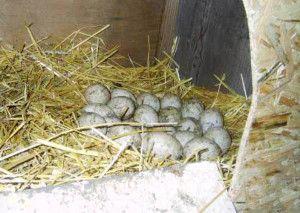 Яйця Башкирських качок в гнізді