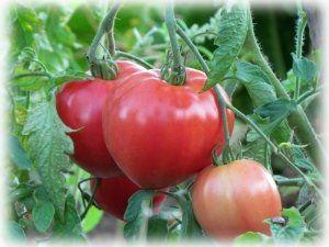 Плоди дуже великі, можуть досягати навіть 1кг