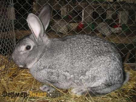 Особливості кролика шиншилової породи