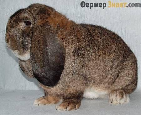 Кролик породи баран