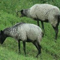 Кращі породи овець з фото і описом