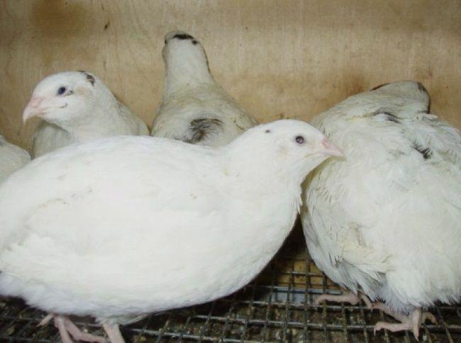 Перепілка породи англійський білий, Англійські білі перепела