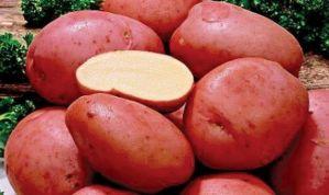 Бажано проводити обприскування картоплі
