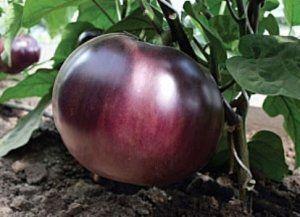 Плоди сорту «Санчо Панса» великі і круглі