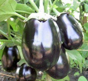 Сорт «Чорний красень» небажано вирощувати у відкритому грунті