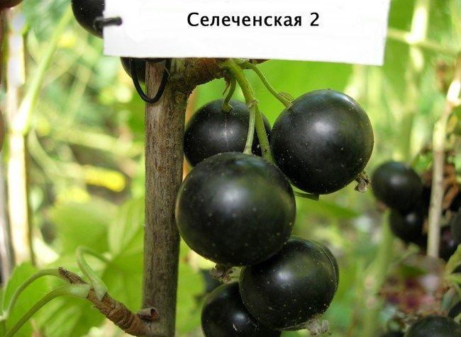 Smorodina_selechenskaja_2