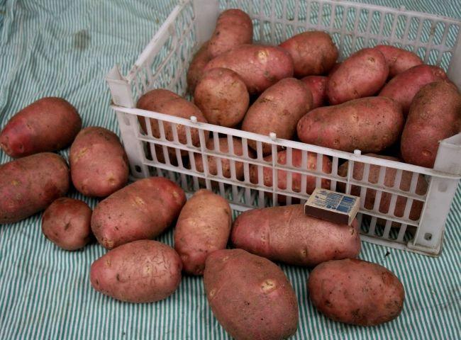 Сорт картоплі «Ред Скарлет»