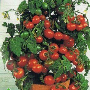 Сорт томатів «Мінібел»