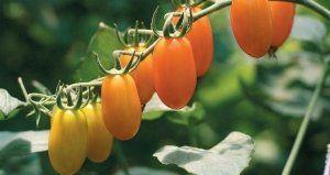 Важливо не забувати підгодовувати томат