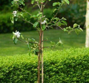 Кращі поради по посадці саджанців яблуні восени