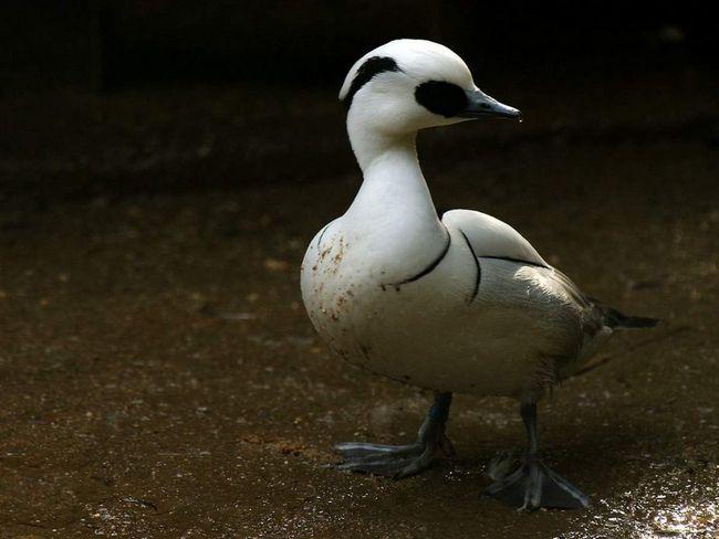 Птах дуже добре пірнає, а також плаває з опущеним хвостом.