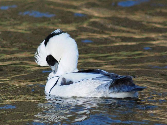 Хоча качку луток називають білим гоголем, найчастіше біологи все ж більше відносять птицю до групи крохалів, називаючи її найменшим видом.
