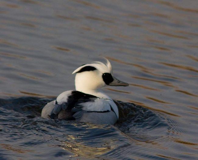 Молоді пташенята, самки і самці до першої линьки мають практично однаковий окрас.