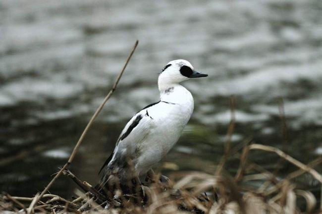Середня вага птиці досягає 600-900 грам.